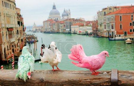 Photo pour Trois pigeons colorés sur la rambarde du pont à Venise (Italie). Vue depuis le pont de l'Accademia sur le Grand Canal et la Basilique Santa Maria della Salute. Fond de vacances romantique . - image libre de droit