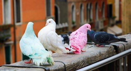 Photo pour Quatre pigeons colorés sur la rambarde du pont à Venise (Italie). Une vue du pont de l'Accademia. Fond de vacances romantique. Focus sélectif sur le pigeon rose . - image libre de droit
