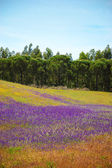 Field covered with blooming wild  violet lavender flowers and  yellow daisy. Forest at background. South of Portugal.