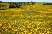 Field covered with blooming wild yellow daisy flowers and trees at background. South of Portugal.