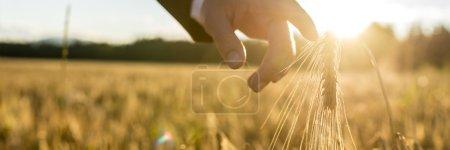 Photo pour Homme d'affaires descendant avec son doigt toucher une oreille de blé doré dans un champ de blé au coucher du soleil rétroéclairé par le soleil doré. Conceptuel de revenir à la nature pour l'inspiration et la tranquillité d'esprit . - image libre de droit