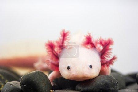 Axolotl (Ambystoma mexicanum)...