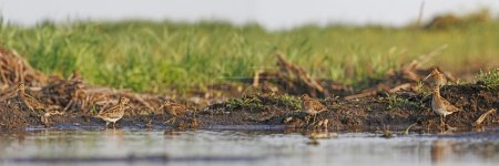 Flock snipe on the banks of the swamp