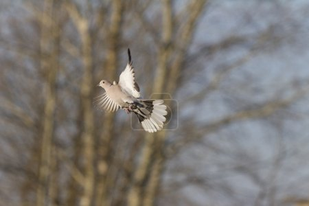 Turtledove flying against a background of trees...