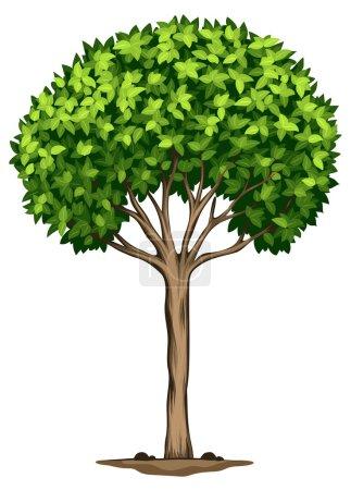 A Laurus nobilis tree