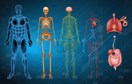 Illustration pour Les différents systèmes et organes du corps humain - image libre de droit
