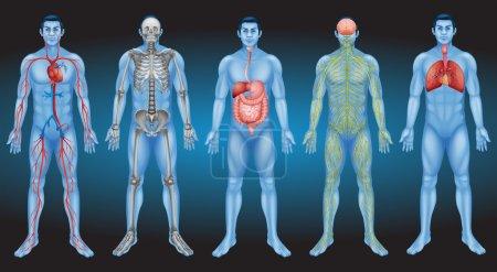 Illustration pour Organes internes du corps humain - image libre de droit