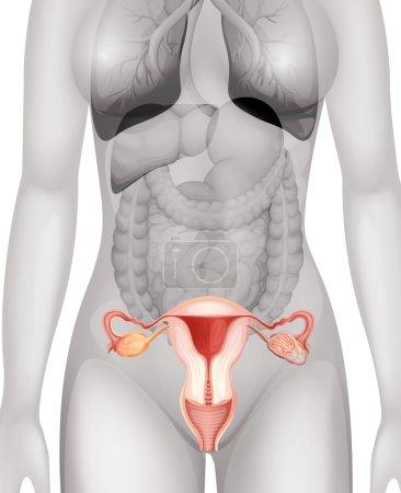 Female genitals in human body