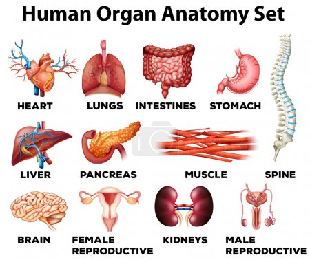 Illustration for Human organ anatomy set illustration - Royalty Free Image