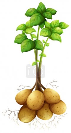 Potatoes with the stem and leaves