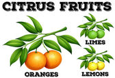 Citrus fruits on branches illustration