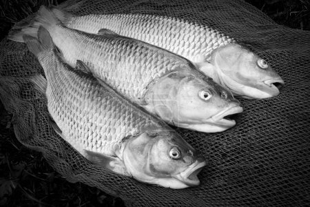Black and white photography of catching fishes.