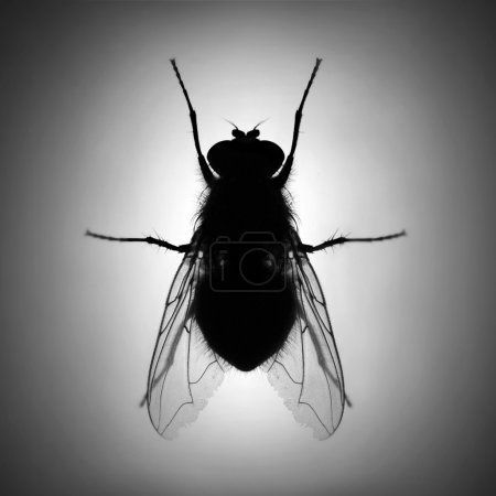 Silhouette of The House Fly