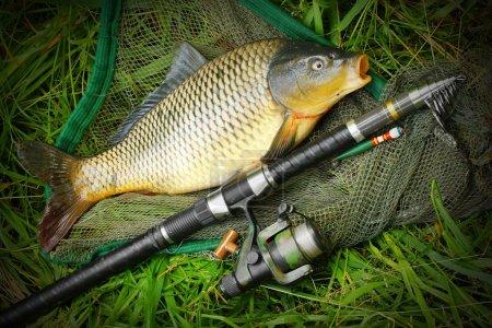 Catching fish. The Common Carp