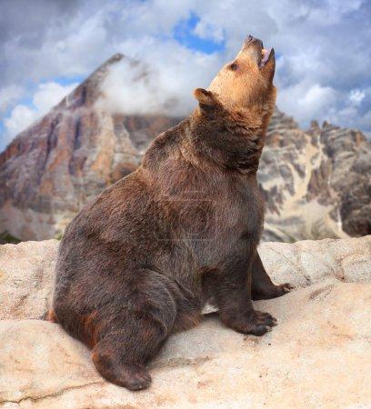 Photo pour Ours brun sur la haute montagne . - image libre de droit