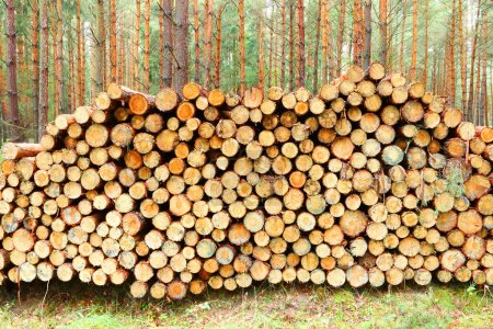 Photo for Pine logs in the forest. - Royalty Free Image