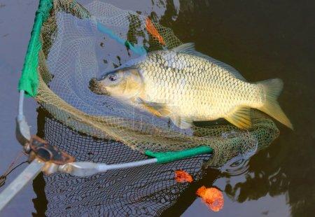 Fishing catch, The Common Carp