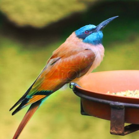 A Northern Carmine Bee-Eater