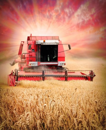 Photo for Combine harvesting wheat against colorful sunset. - Royalty Free Image