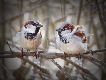 The pair of a House Sparrow