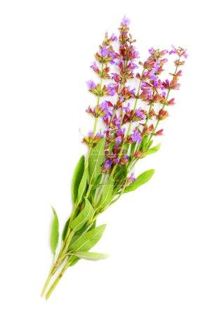 The Common Sage plant