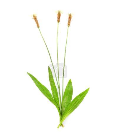 Ribwort plantain medicinal herb