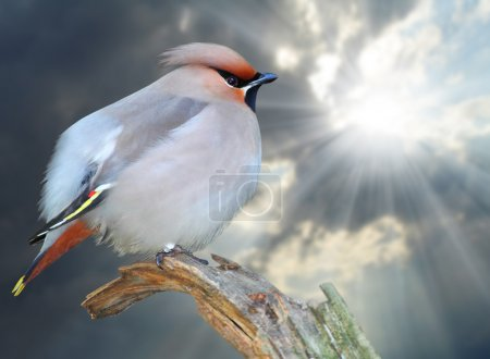 The Bohemian Waxwing and sky