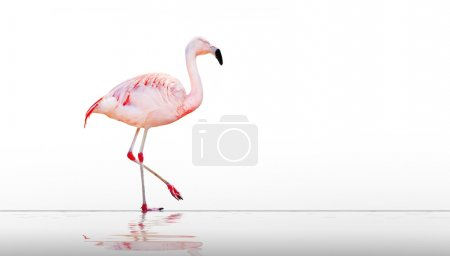 The greater flamingo (Phoenicopterus roseus).