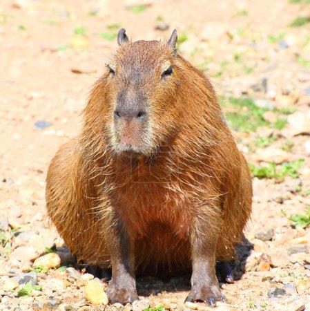 One cute Capybara