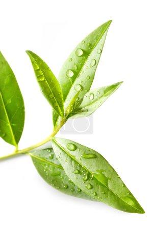 Green tea leaves.