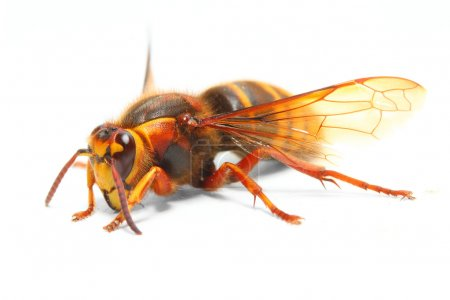 The European Hornet (Vespa crabro).