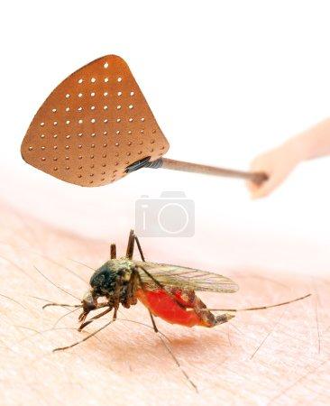 Smashing flyswatter over a sucking mosquito