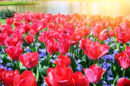Spring landscape with beautiful red tulips