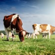 Herd of cows at summer green field. Agricultural c...