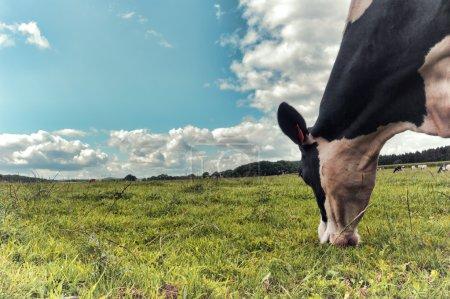 Photo pour Vache noire et blanche broutant au champ vert. Concept d'agriculture - image libre de droit
