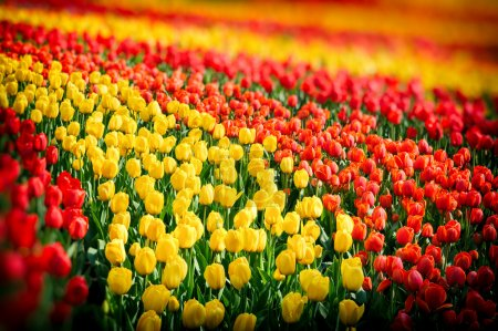 Flower bed of multicolor tulips at spring