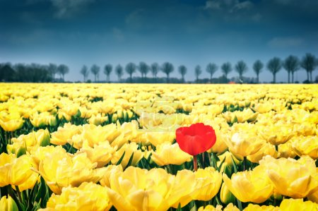 Photo for Flower bed of yellow tulips at spring field - Royalty Free Image