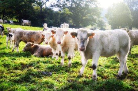 Herd of young calves