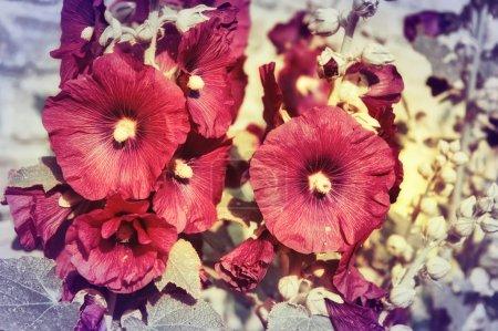 Beautiful malva flowers