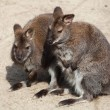 Red-necked wallaby (Macropus rufogriseus), also kn...