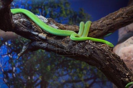 Photo pour Mamba vert occidental (Dendroaspis viridis), également connu sous le nom de mamba vert ouest-africain. Animaux sauvages . - image libre de droit