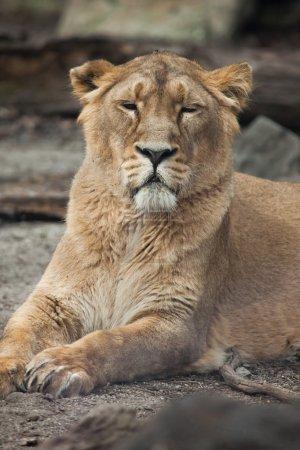 Female Asiatic lion (Panthera leo persica).
