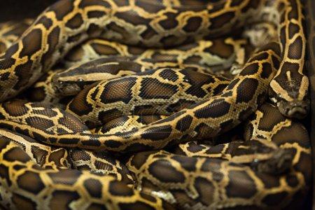 Burmese pythons (Python bivittatus). Wild life ani...