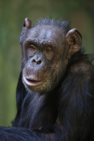 Common chimpanzee (Pan troglodytes), also known as...