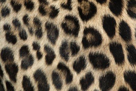 Persian leopard tur texture.