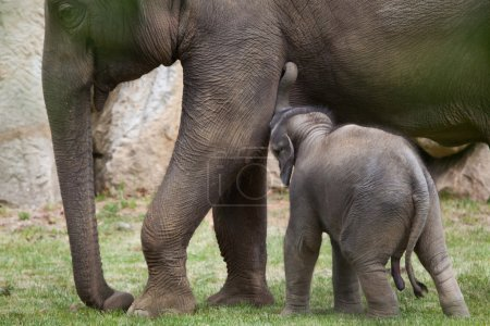 One-month-old Indian elephants