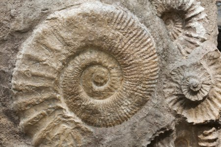 Ammonites from Cretaceous Period