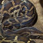 Burmese python, Python bivittatus. Wild life anima...