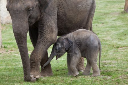 Indian elephant with his mother