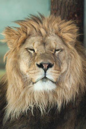 Portrait of Adult Lion
